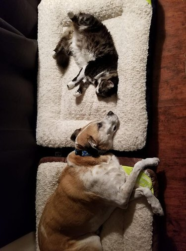 A cat and a dog testing out their new beds