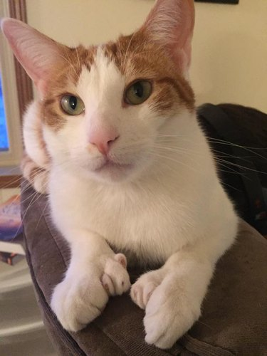 162 names for polydactyl cats and kitties