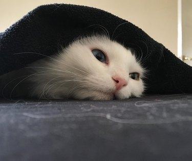 White cat under black blanket