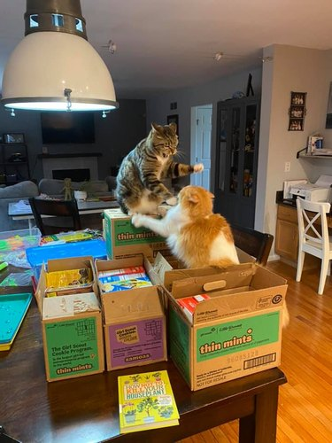 cats fighting on pile of cookie boxes