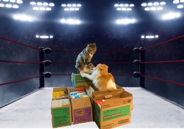fighting cats photoshopped into boxing ring