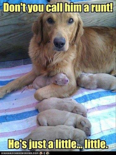 Golden retriever with newborn pups. Caption: Don't you call him a runt! He's just a little... little.