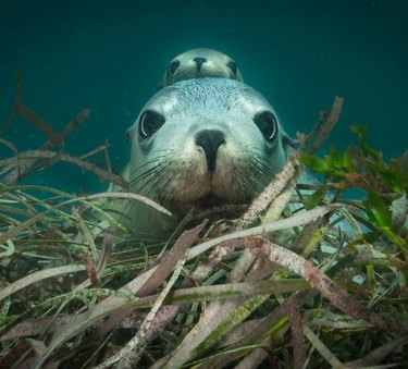 Seal underwater with seal pup looking over her head.