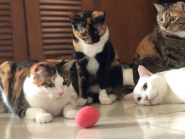cats are captivated by spinning egg
