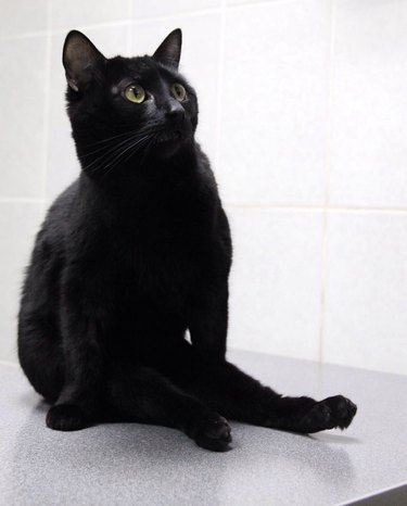 """Lucik, the black """"caring cat"""" who helps at Klyk animal hospital in Perm, Russia"""