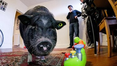 Ludwig, a large, black pot-bellied pig, in his owner's home in England