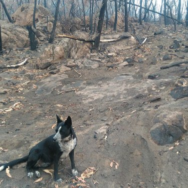 Patty, a black and white six-year-old kelpie-border collie mix in the aftermath of the Australian wildfires