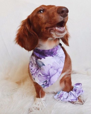 dog in purple floral scarf and matching scrunchie