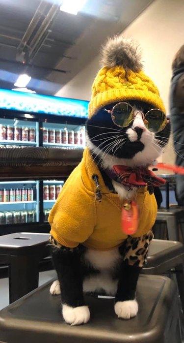 cool cat in sunglasses
