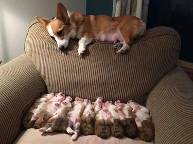 Corgi lying on back of armchair, looking down at seat full of her puppies.