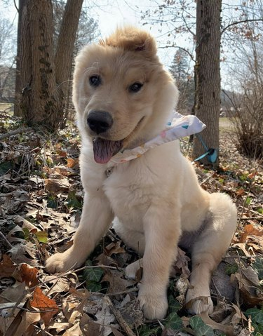 "Rae the ""unicorn"" golden retriever outside in fall leaves"
