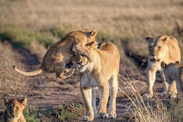 Lion cub pouncing on lioness's face.
