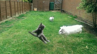Kitten and bunny mid-leap