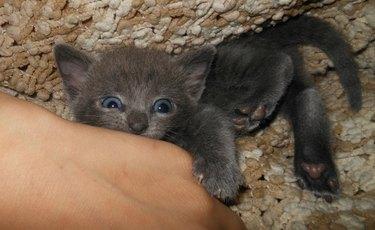 Tiny kitten attack