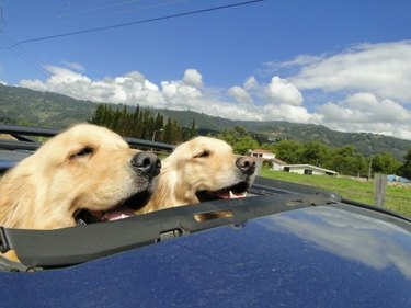 Two dogs in a convertible.