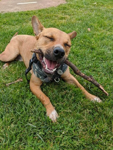 Happy dog chewing on a stick.