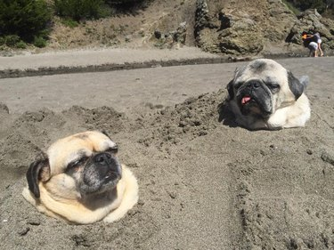 Two pugs buried in sand on the beach.