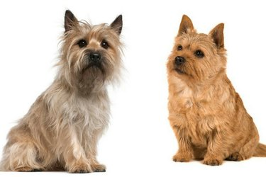 Cairn Terrier and Norwich Terrier