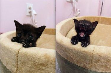 tiny black cat in cat bed
