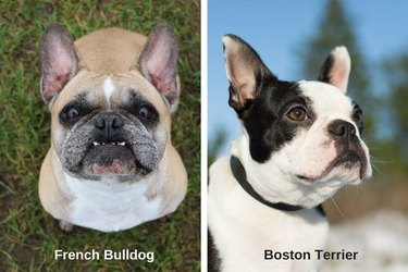 French Bulldog and Boston Terrier