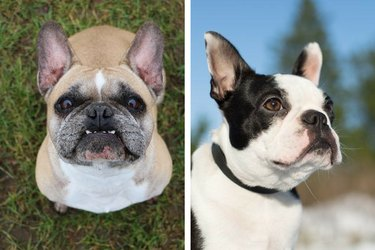 Boston Terrier and a French Bulldog