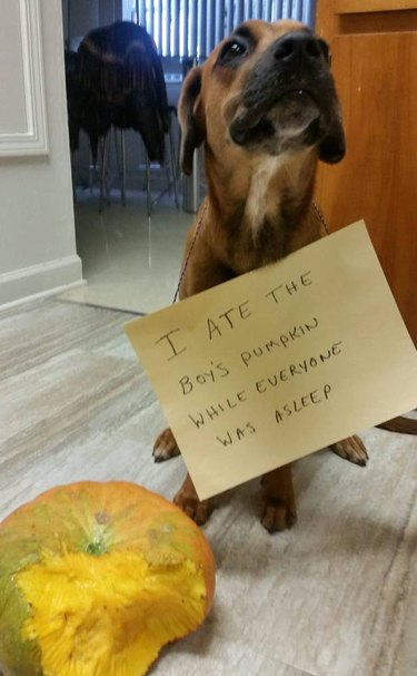 "Dog next to partially eaten pumpkin wearing a sign that says ""I ate the boy's pumpkin while everyone was asleep."""