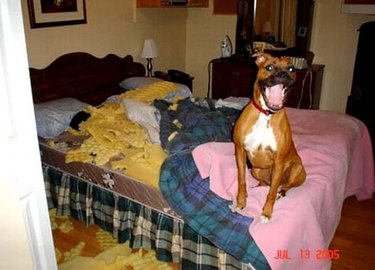 Boxer sitting on bed with destroyed mattress pad.