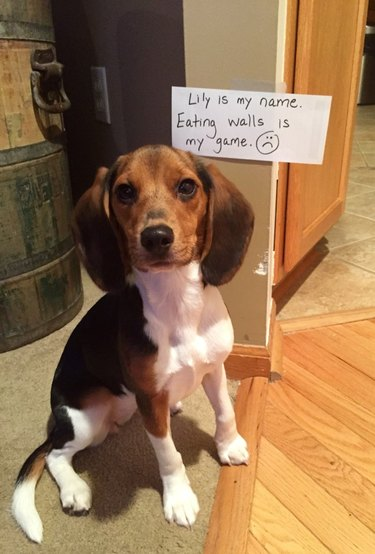 "Beagle sitting next to sign that says ""Lily is my name. Eating walls is my game. :("""