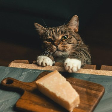 Cat reaching for piece of cheese.