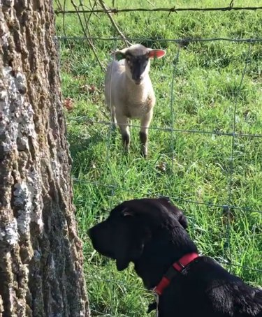 lamb and dog in a grassy field
