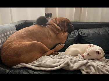 gray kitten sitting on a big brown dog