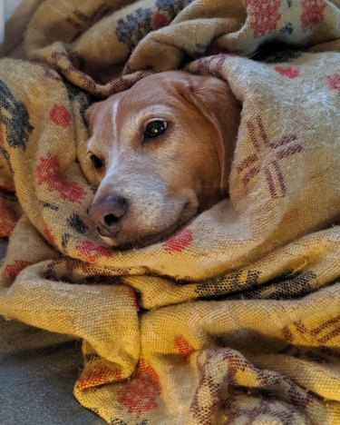 Dog wrapped in a blanket.