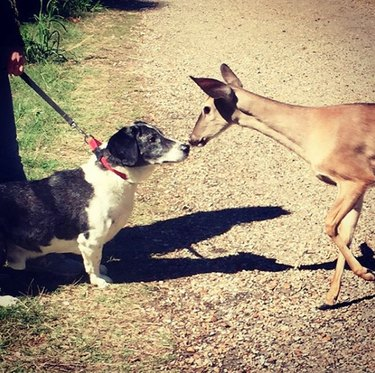 dog booping noses with a deer