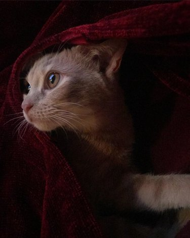 Cat under a red satin blanket
