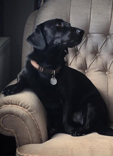 Dog sitting in a chair looking noble.