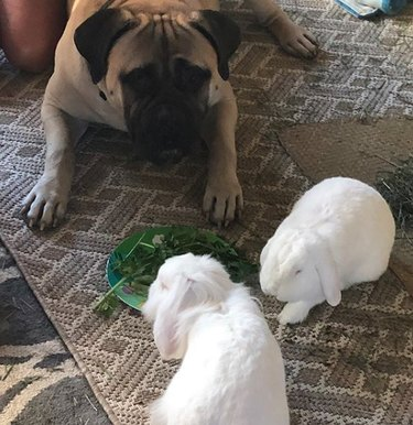 dog with two white bunnies
