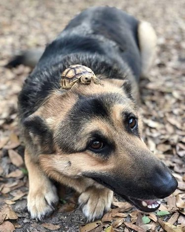 dog with turtle on its head