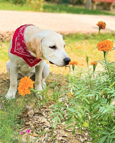 dog sniffing a marigold