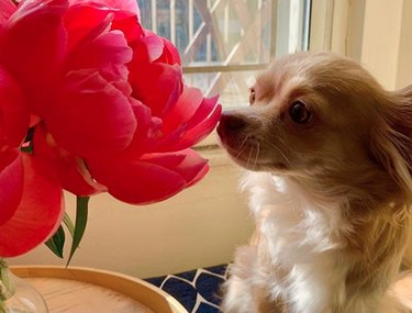 dog sniffing a big red flower
