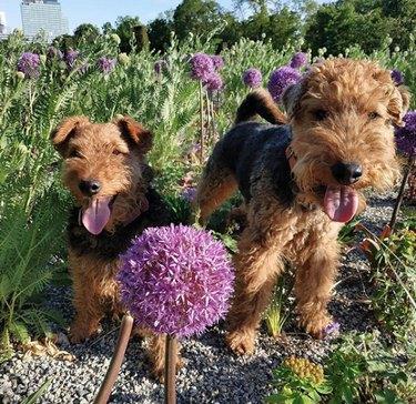 dogs in field of purple ball flowers