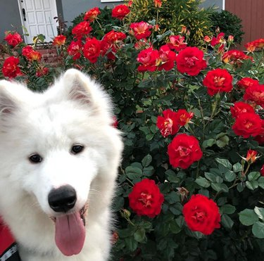 samoyed with red wild roses