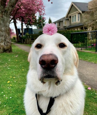 white dog with single pink flower on its head