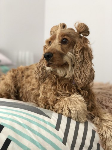 Dog with wavy hair