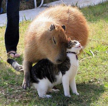 cat and capybara cuddle