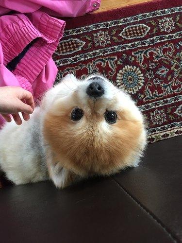 Pomeranian looking up at camera