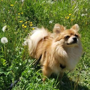 Pomeranian in a field of dandelions