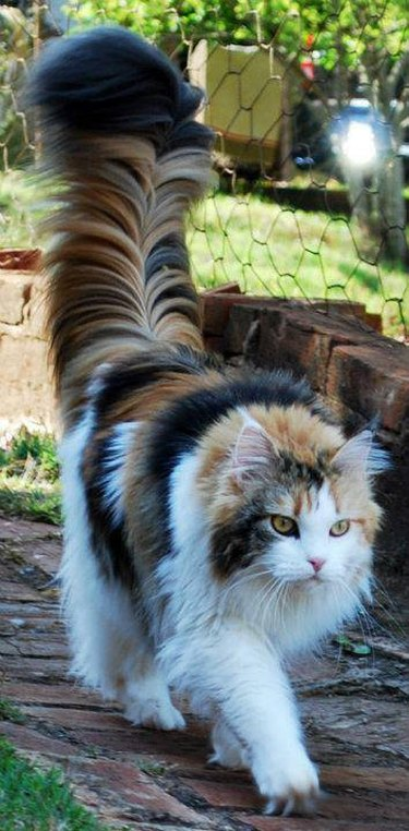 Cat with big tail.