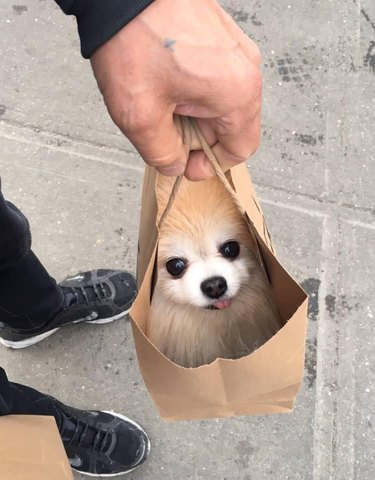 Pomeranian being carried in a paper bag.
