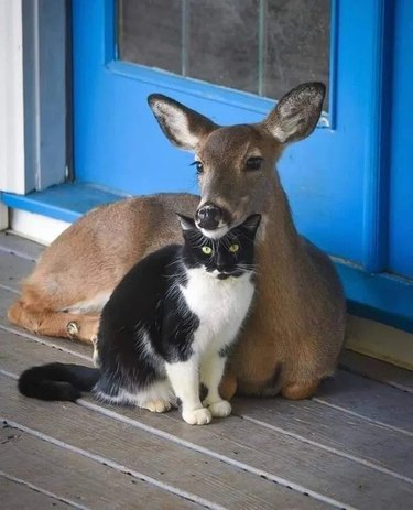 deer rests head on cat