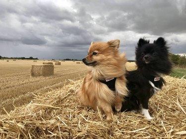 Two Pomeranians in a field